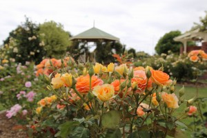 rose-garden-kernot-lake-town-commons-or-pirate-park_24244494975_o